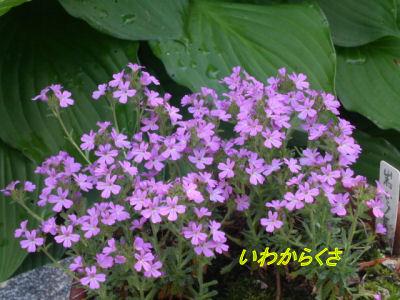070428mgflowers012iwakarakusa