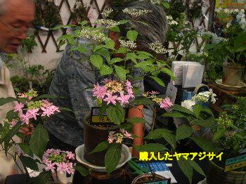 070517rosegardeningshow_022yamaajisai