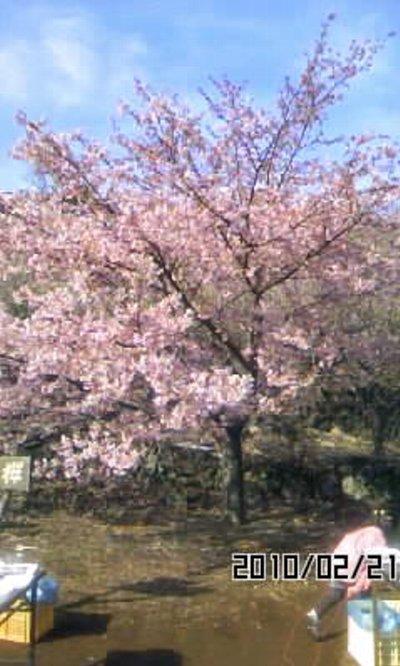 100221sakurahagiwara1