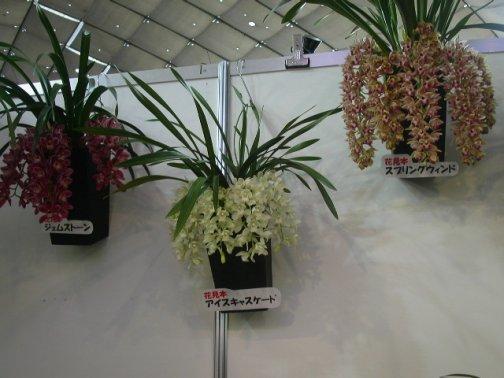 060222-nihon-orchid-42-cymbidium-icecascade