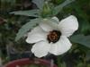 060801mghibiscusvanila_003_1